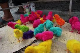 Výsledek obrázku pro kuřata