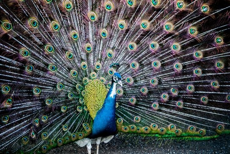 i favolosi colori del pavone