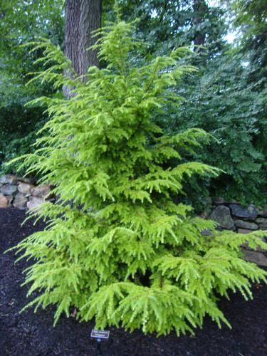 Rich's Foxwillow Pines Nursery, Inc. - Tsuga canadensis – 'Livingston'Canadian Hemlock