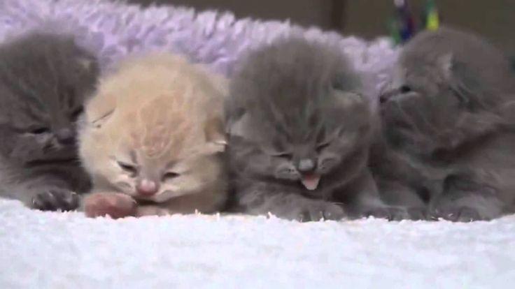Four fluffy new born kitten   Четыре пушистых новорожденных котенка
