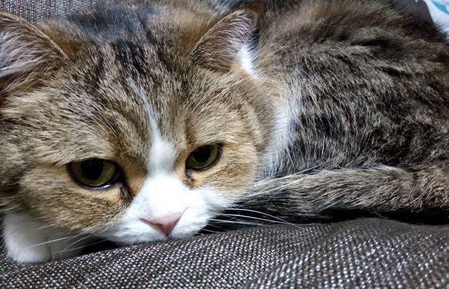 皆様〜!. ついにおとーちゃんがインスタ始めました😂👏❕. これから皆様のことフォローしたりすると思いますので、よろしくお願いします😂💕💕. @ku_chan1115 . . #空 #猫 #愛猫 #ぴくねこ #家族 #ペット #picneko #pet #family #love #exoticshorthair #エキゾチックショートヘア #おやばか #ふわもこ部 #ぶさかわ #かわいい #ぺちゃ顔 #ネコ #ねこ部 #ねこばか部 #ぺこねこ部 #くーちゃん #catstagram #catsofinstagram #catlove #lovemycat #lovemypet#ペピ友#みんねこ#ぺぴ友