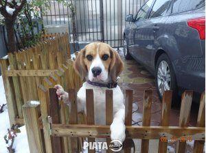 Animale de companie, Vanzari, cumparari, Vand pui Beagle tricolor de 10 luni, imaginea 1 din 4