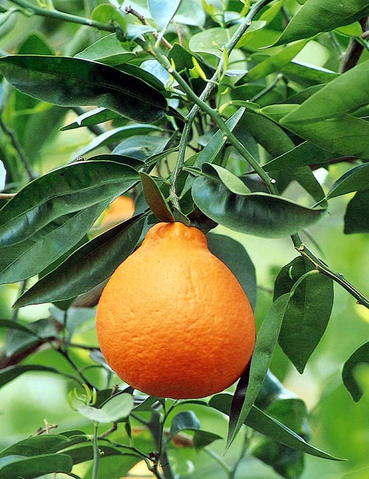 Minneola Tangelo - Monrovia Nursery - available at Lowe's and several local nurseries - just ate one of these. I need a whole grove of these trees :)
