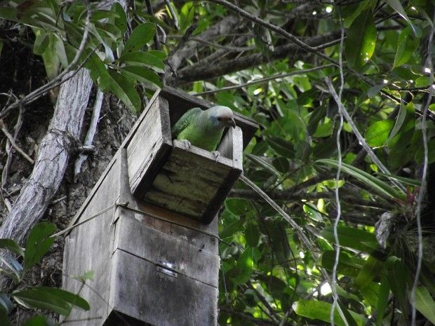 Paraná e São Paulo registram 116 nascimentos de Papagaio-de-cara-roxa