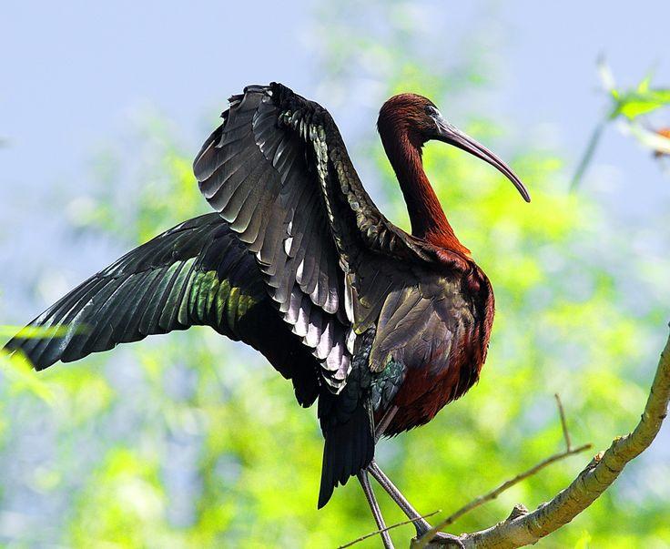 glossy ibis in the danube delta-romania www.chettusia.com