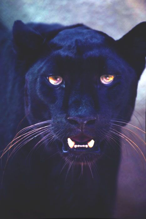 """Panther is it weird that the first thing that came to mind when I saw this was """"bagira""""?"""