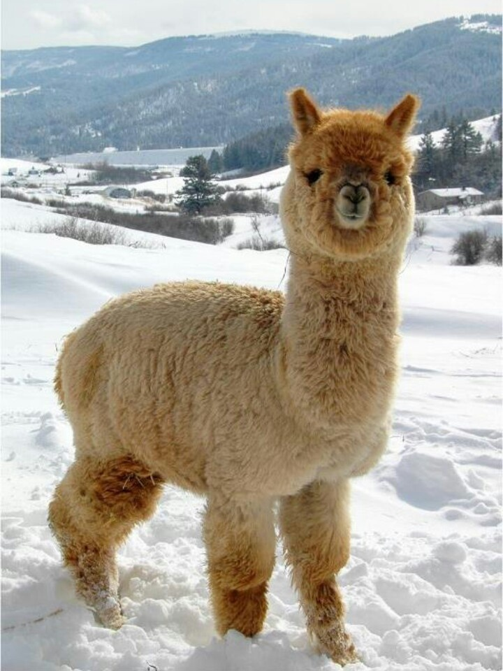 Yes mama I got my winter llama coat on. Animals