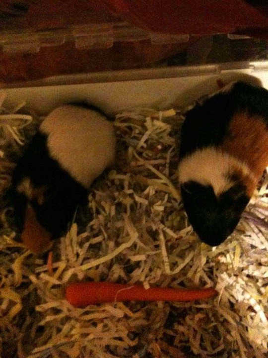 """""""I used shredded paper as bedding for my guinea pigs. Rather than just throwing the paper away :)"""""""