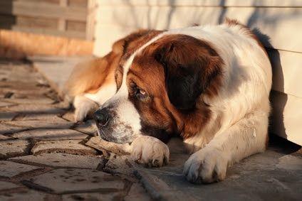 Правильный корм для собак крупных пород
