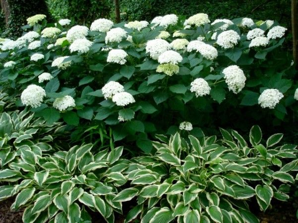"""love the underplanting of white trimmed hosta. ?other white trimmed perennials-""""Jack Frost"""" Brunnera would be lovely"""
