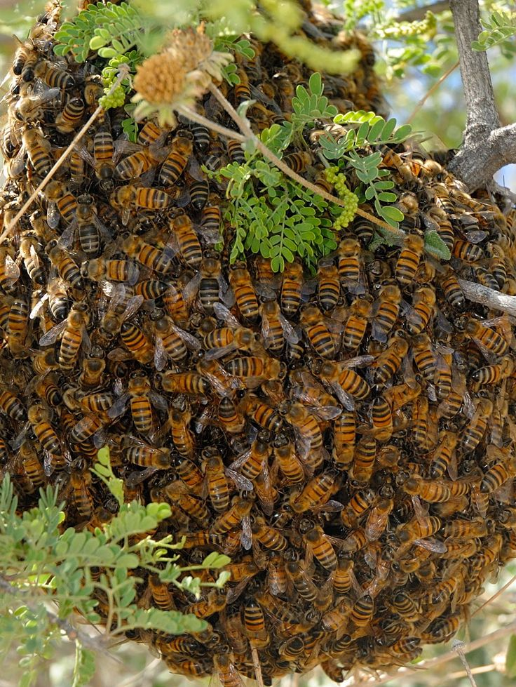 bee swarm. They are looking for a new home, and not aggressive at this time.