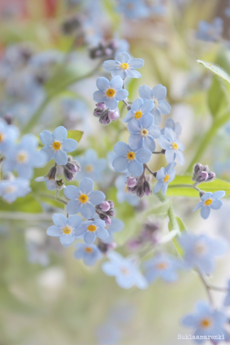Forget-me-not is one of my favourite flowers. So pretty, so delicate, so unassuming.
