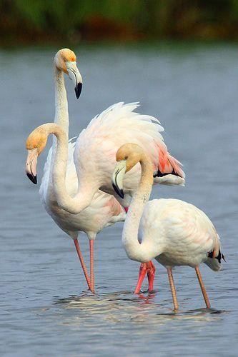 Flamingos, ria de Aveiro - Portugal