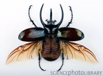 This image is part of the feature Ten Amazing Beetle Facts    Credit: PASCAL GOETGHELUCK/SCIENCE PHOTO LIBRARY    Caption: Male Atlas beetle (Chalcosoma atlas). The wings are shown in the open position. This beetle is native to Malaysia. The mounted specimen shown here is about 10 centimetres long.