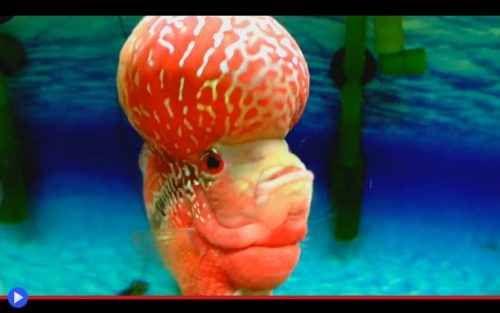 Un pesce fiore con la palla sulla testa Signori, vi presento il flowerhorn drago rosso, uno strano animale domestico creato dalla mano dell'uomo. Selezionato a partire dai ciclidi pinnuti dei fiumi sud americani, incrociati dagli allevator #pesci #acquari #animali #ciclidi
