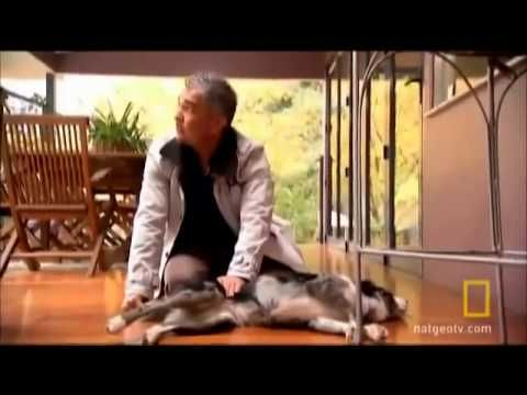 Cesar Millan using doTERRA's Lavender to relax dog YouTube.  Amazing what doTerra Essential Oils Lavender can do for animals.  Safe, natural and immediate results.