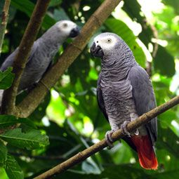 African Grey Parrot - An amazingly intelligent (argubly the most intelligent) parrot. A parrot that has it all; brains, beauty and genuine love for their owner. <3