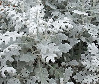 Dusty Miller - this is NOT my favorite version of dusty miller. I prefer the big broad leaves - almost like elephant ears.