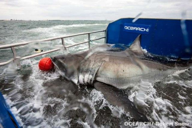 Great White Whale Secret And Whisper 528 Best images about ...
