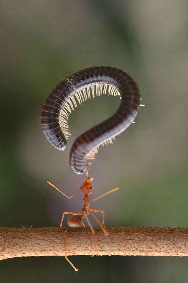 Formiga captura centopeia: estudante de Bornéu conseguiu fotografar a cena inusitada (Foto: Frenki Jung/Media Drum World)