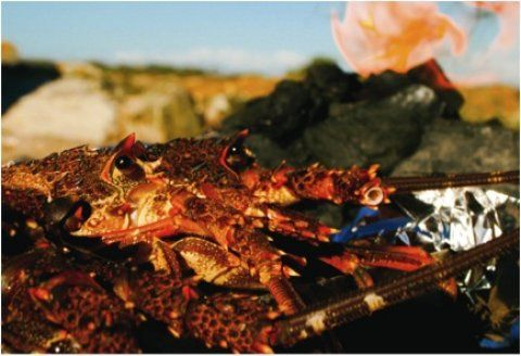 Justin Bonello's stuck-on-a-rock strandloper crayfish