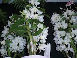 Znalezione obrazy dla zapytania dendrobium (Dendrobium)