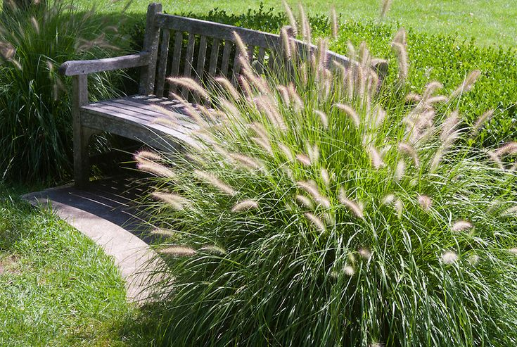 Pennisetum alopecuroides 39 hameln 39 dwarf fountain grass for Fountain grass for shade
