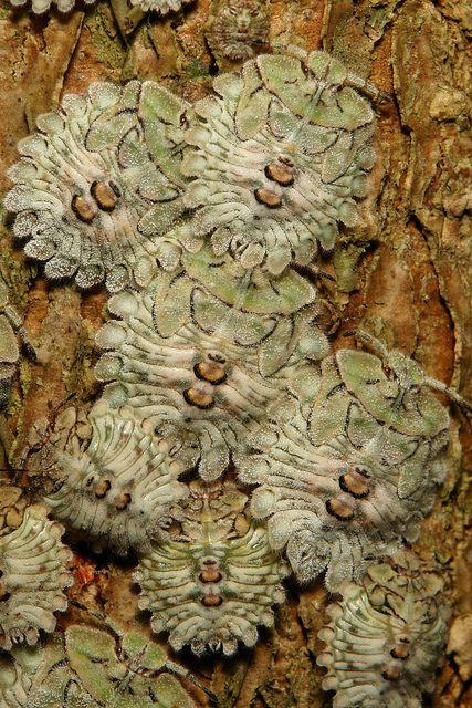Early Instar Stink Bug Nymphs (Pentatomidae)
