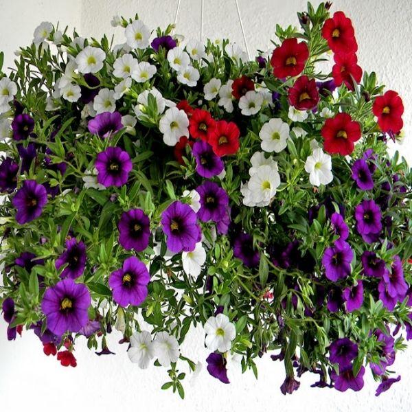 #Petunia Curgatoare (Petunia pendula) este disponibila in diverse culori. Acestea sunt cele mai bune petunii curgatoare, pe care le puteti cultiva pornind de la samanta. Produc o cascada de flori vara intreaga. Metoda de semanare: Semanati in interior din ianuarie pana in martie.Semanati in exterior din aprilie pana in iunie. O gaziti la #Pestre la numai 1,98 lei http://bit.ly/1DuOqAS