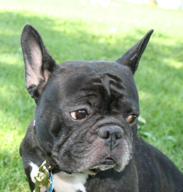 french bulldog adoption ma 1000 ideas about french bulldog rescue on pinterest 4921