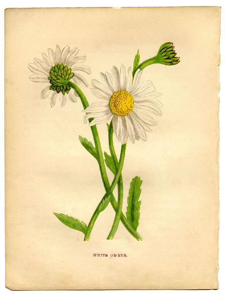 Daisy printable Graphics Fairy: Botanical Illustration, Botanical Prints, Daisy Botanical, Daisies, Tattoo, Vintage Botanical