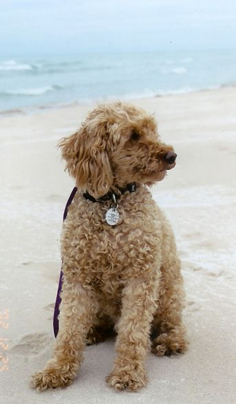 Miniature Poodle Looks Like My Shaggy Part Min Poodle