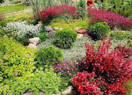 Картинки по запросу барбарис в саду