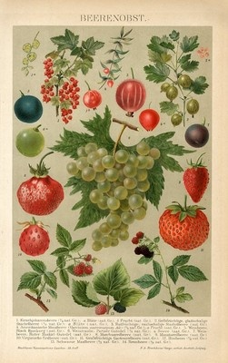 """1894 GRAPE STRAWBERRY GOOSEBERRY CURRANT FRUIT Antique Chromolithograph Print.  Original old German colour chromolithograph print with a tissue guard/book plate (not a modern reproduction) comes from a German lexicon.  The print has been printed by Bibliographisches Institute Leipzig, Germany in 1894.  The overall size of this print with margins approx 9 3/4"""" x 6 1/2"""".  Bought/Sold $16.79"""