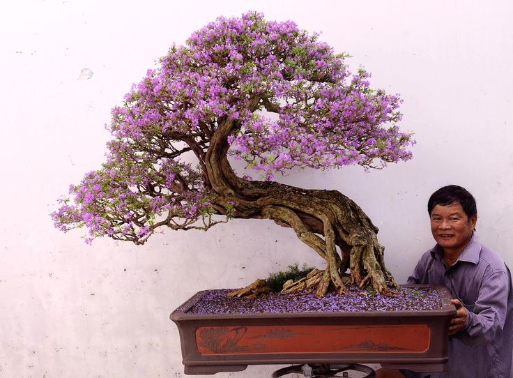 Big Bonsai tree with wonderful purple flowers, not entirely sure about the tree species though, perhaps a Jacaranda? Photo by Thang Tran. #bonsai #bonsaitree