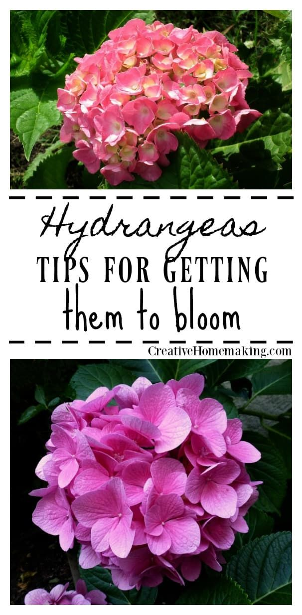 Why Doesn T My Hydrangea Bloom Vegetable Garden For Beginners Hydrangea Not Blooming Gardening For Beginners