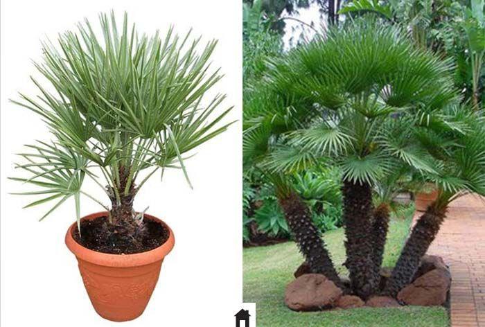 17 melhores ideias sobre palmeiras plantas no pinterest - Plantas para exterior resistentes al sol ...