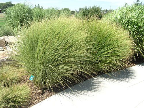 Morning light maiden grass around the deck idea for Ornamental sea grass