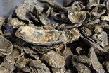 A year after the Shell Oil Company donated $1 million to start an oyster shell recycling program, the Coalition to Restore Coastal Louisiana officially has launched its program collecting shells from metro New Orleans area restaurants and returning them to Louisiana...