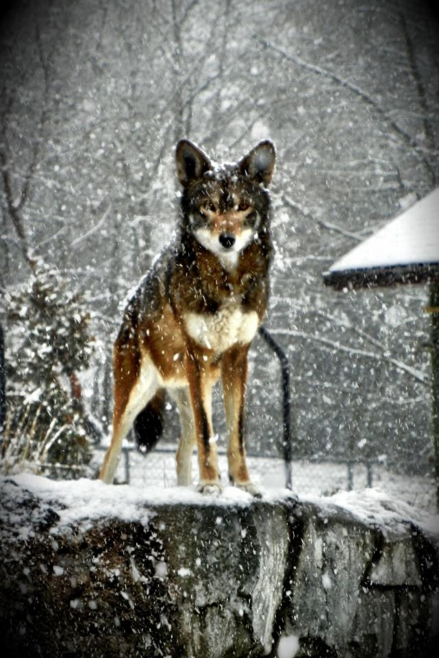 Graham, Red Wolf, PDZA