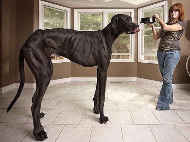 This Is The World's Tallest Dog : According to the upcoming Guinness Book of World Records for 2013, Zeus the Great Dane is the tallest dog in the world right now. Standing on his hind legs, Zeus measures 7'4.