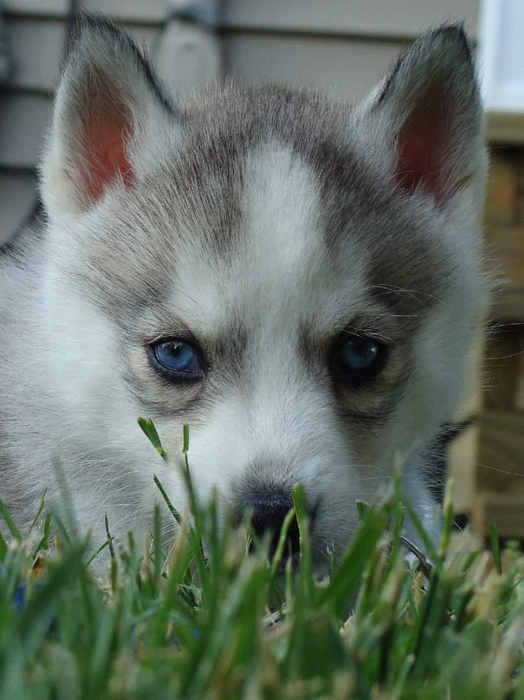I heart siberian huskies.