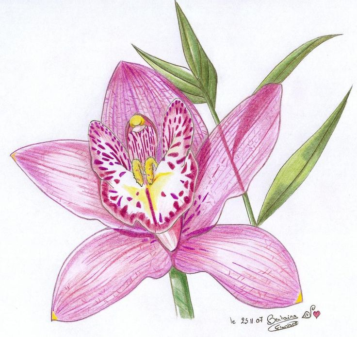 6191 best images about botanical art on pinterest elizabeth blackwell libraries and wild flowers - Dessin d orchidee ...