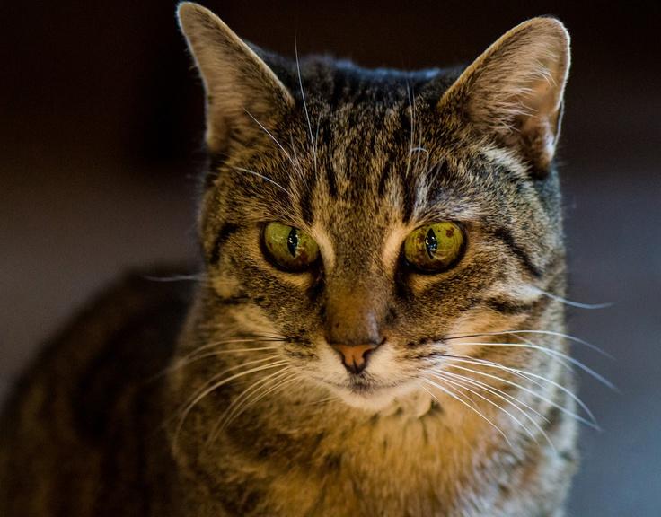 Girl Cat.   Nikon D3200, micro 105mm f/2.8  ~Don