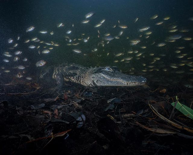 Photo @ladzinski / A school of small #JewelCichlids and baby #tilapia swimming near a juvenile American #alligator, hunting patiently for larger prey in the Florida #everglades. With winter  nearly here temperatures are dropping, slowing down the metabolisms of these beautiful apex predators. Alligators can live in temperatures as low as the mid 40's unlike crocodiles, which require significantly warmer temperatures. @andy_mann @gatorboys_chris