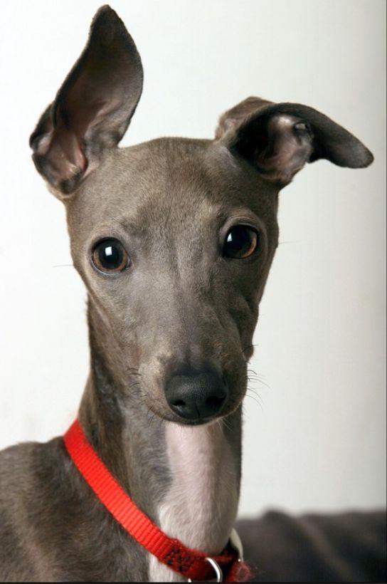 Miniature Italian Greyhound | Dus So Cute | Pinterest
