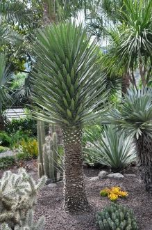 Best 25+ Yucca Plant ideas on Pinterest  Cactus in spanish, Agave ...