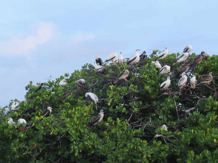 Red-footed boobies nest among the mangroves at Aldabra Atoll in the Seychelles.