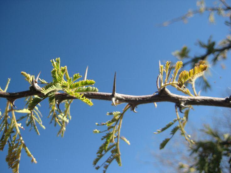 Very sharp thorns but beautiful.