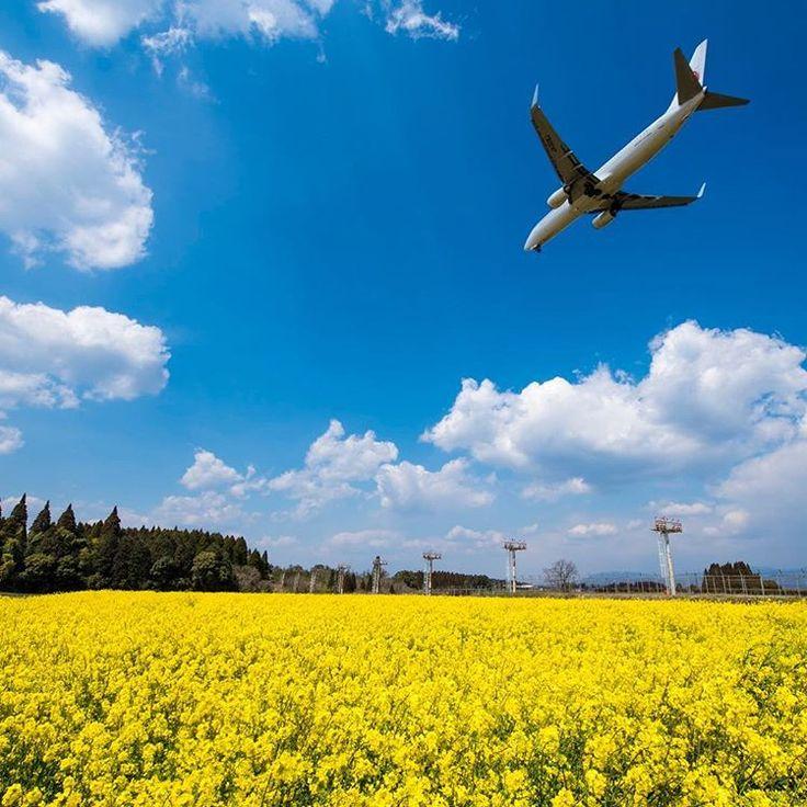 この日はじめて鹿児島空港の菜の花畑に行きましたが、想像以上でした🌼  .  .  福岡空港の菜の花のイメージだったので、この密度を見てびっくり‼️  .  .  若干福岡空港より滑走路との距離があるので飛行機も高い位置で撮りにくいところでしたσ^_^;